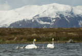 Whooper Swan (Cygnus cygnus) adults swimming with chicks, Iceland