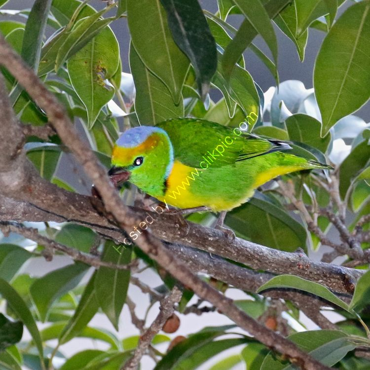 Golden crowned Chlorophonia
