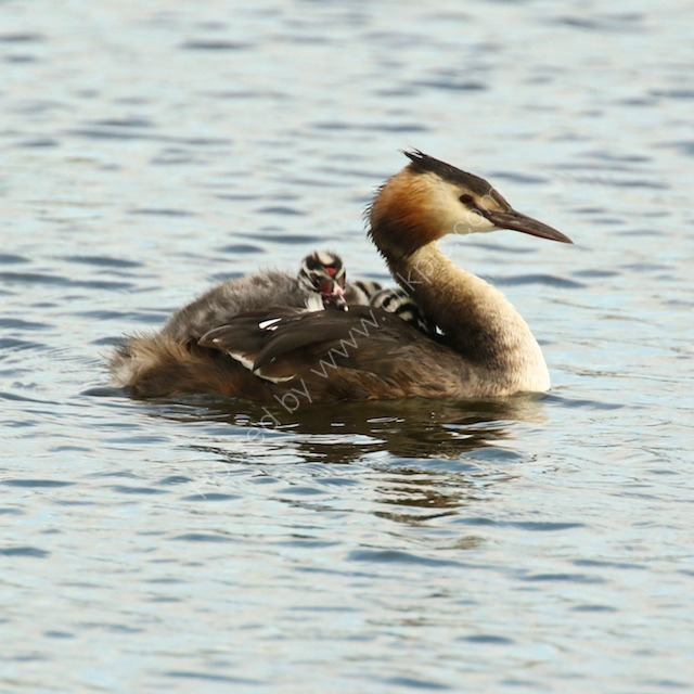 Great Crested Grebe with juvenile passenger.
