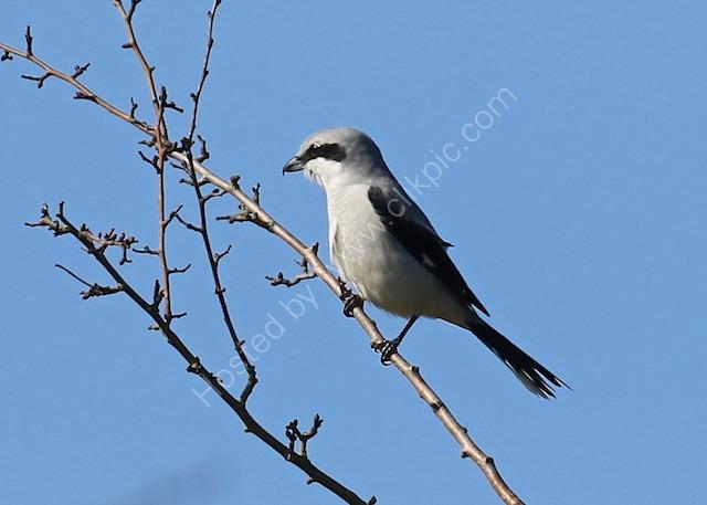 Grey Grey Shrike, Grimes Graves, Norfolk