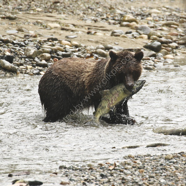 Grizzly Bear in British Columbia, Canada