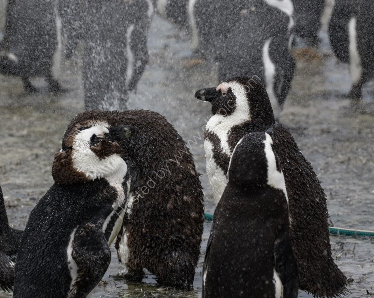 African Penguins taking a shower