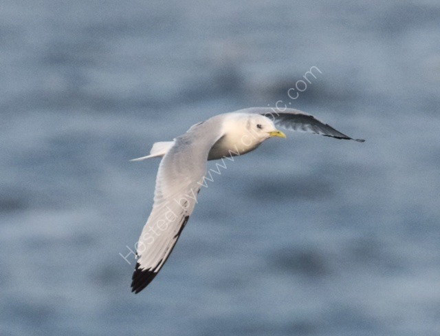 Kittiwake. Norway