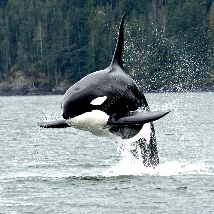 Killer Whale - British Columbia