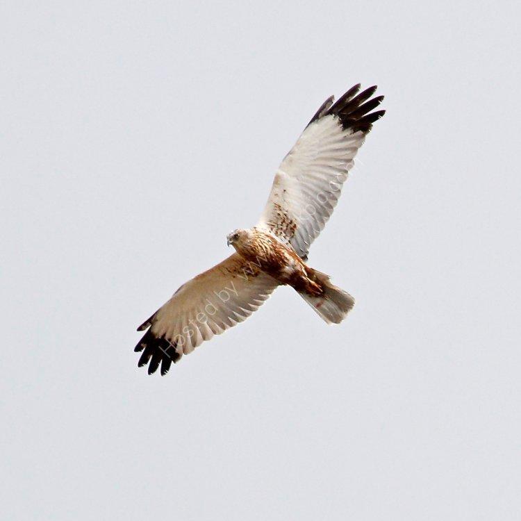Mash Harrier
