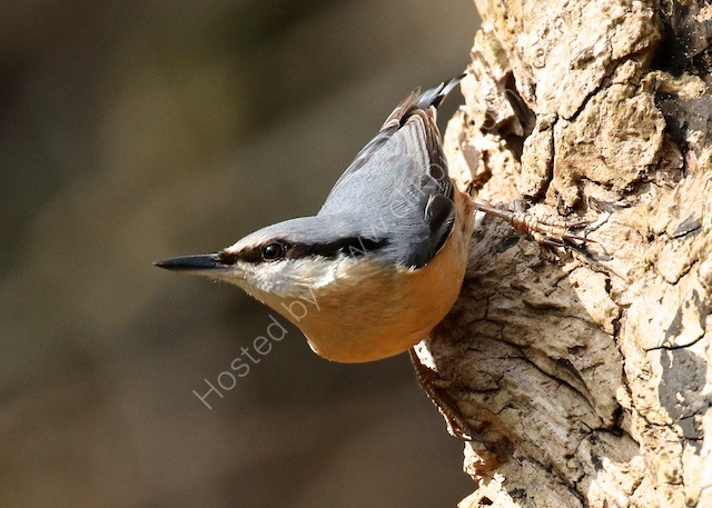 Nuthatch - Lackford Lakes, Suffolk