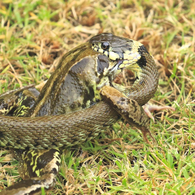 Grass snake attempts to eat a large frog