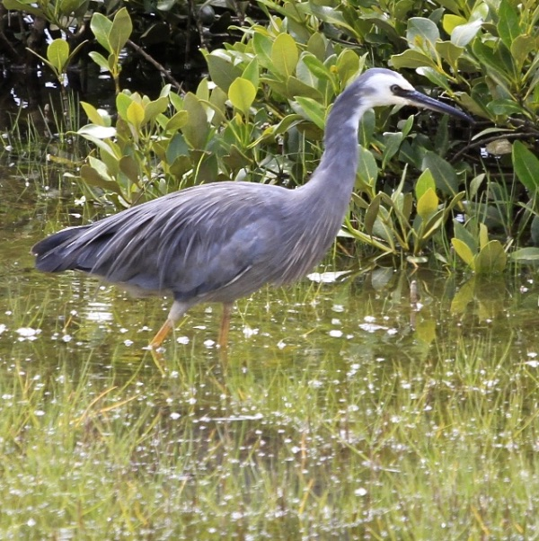 Whiet Faced Heron