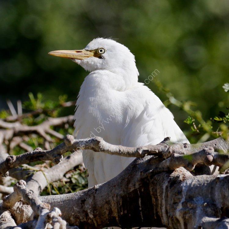 Juvenile Cattle Egret