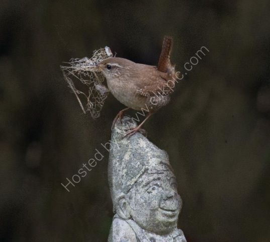 Wren feathering its nest.