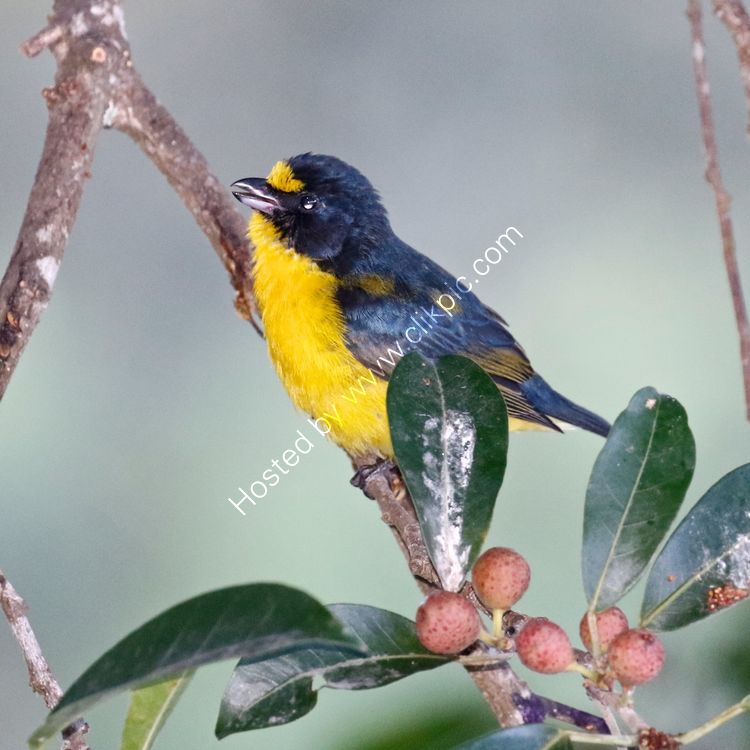 Yellow throated Euthonia