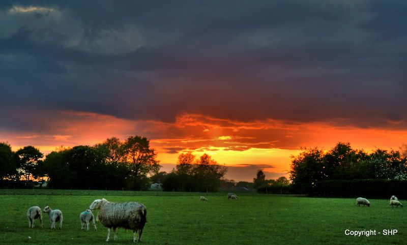 Sunset and Sheep