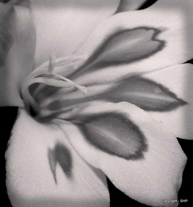 Gladioli (Mono)