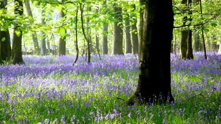 Cotswold Bluebells