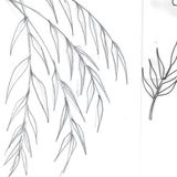 Leaf Sketches