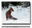 Red Fox in Winter