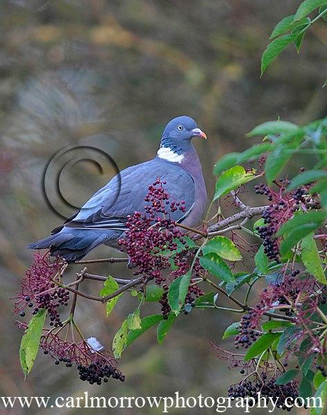 Wood Pigeon feeding on Elder berries.