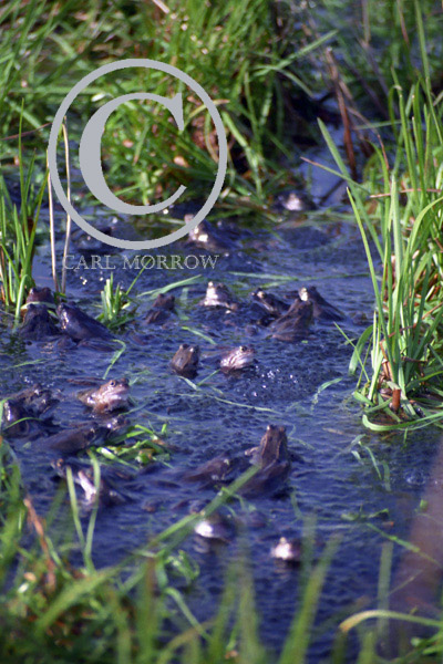 Frogs in a pond at spawning time.