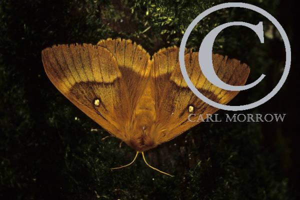 Oak Eggar Moth.
