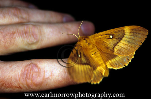 Oak Eggar Moth