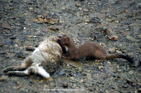 Stoat at rabbit kill.