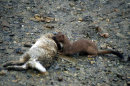 Stoat on a kill.