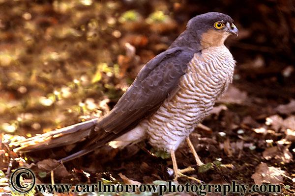 Sparrowhawk (male).