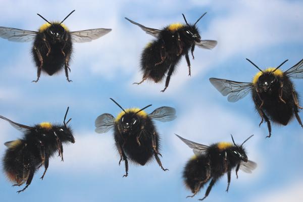 Bumblebee collage