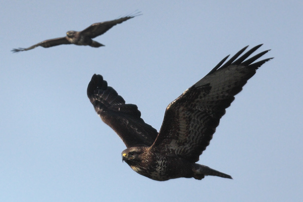 Buzzard pair. (multi layered composite image)
