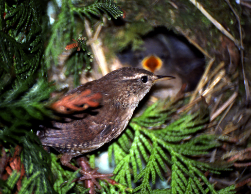Wren at the nest