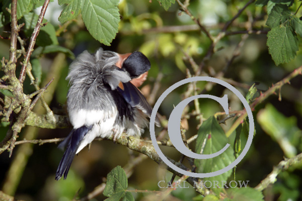 Male Bullfinch Preening