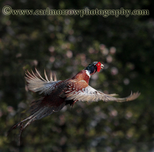 Ring Necked Pheasant in flight