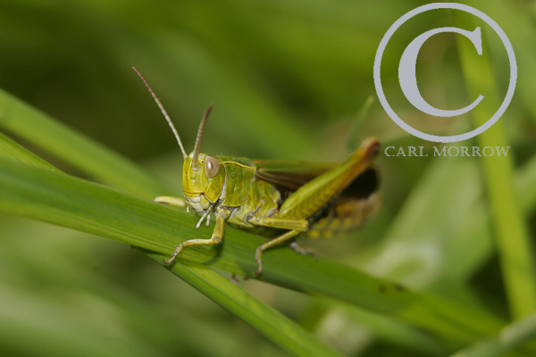 Common Field Grasshopper.