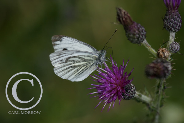 Green Veined White Butterfly.
