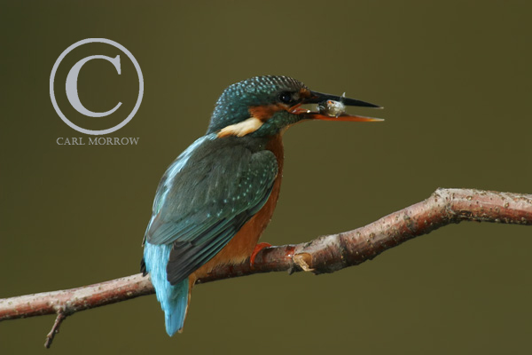 Kingfisher catching small roach.