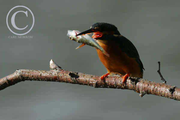 Kingfisher just after catching a small perch.