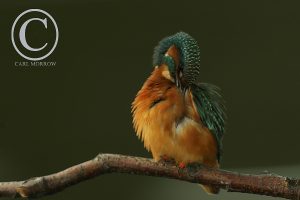 A kingfisher preening it's feathers.