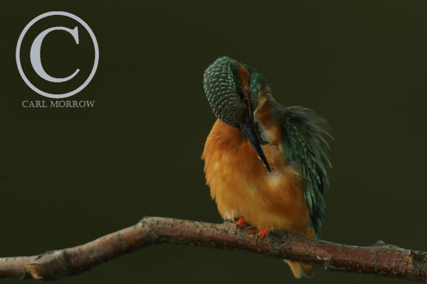 Kingfisher preening it's feathers.