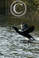 Cormorant taking flight.