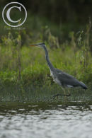 Grey Heron stalking fish.