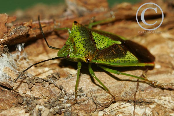 Hawthorn Shield Bug.