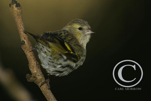 Female Siskin.