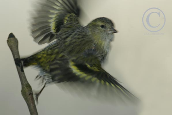 Female Siskin taking flight.
