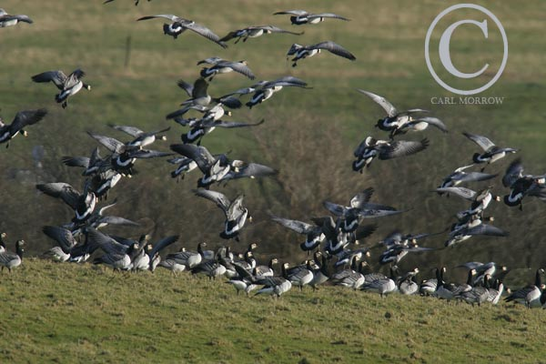 Barnacle Geese in flight.
