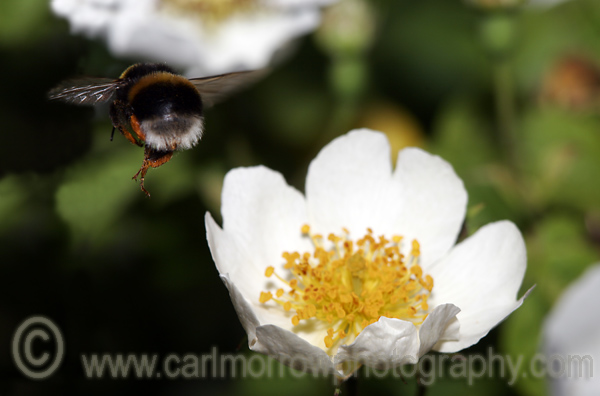 Bumblebee flying away after collecting nectar from a field rose.