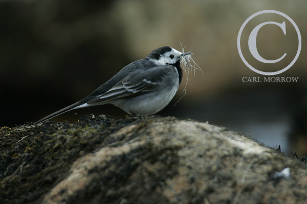 Pied Wagtail collecting nesting material.