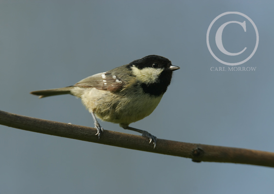 The Coal Tit.
