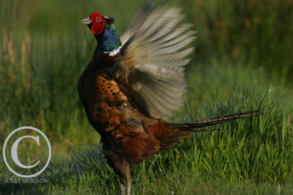 Cock Pheasant Beating it's wings.