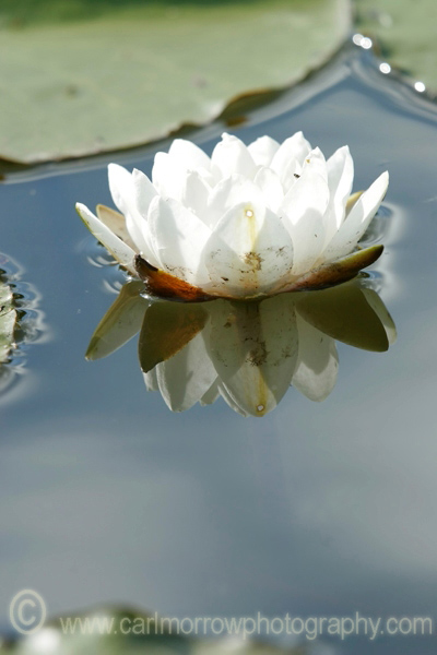 White Water Lily.