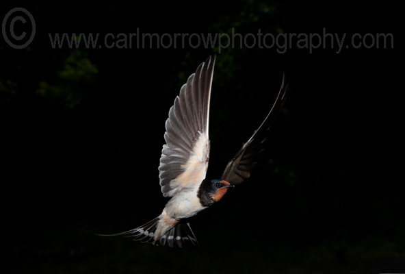 Swallow in mid-flight.